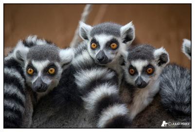 jerez_lemures